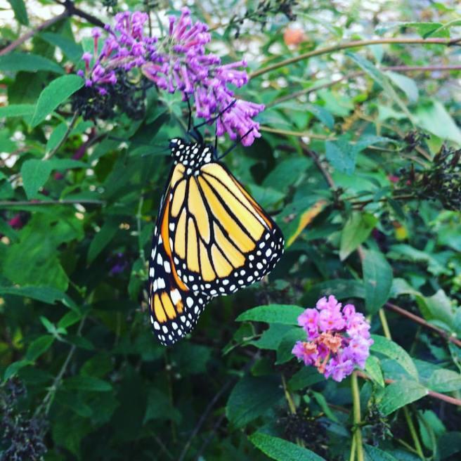 monarch-12