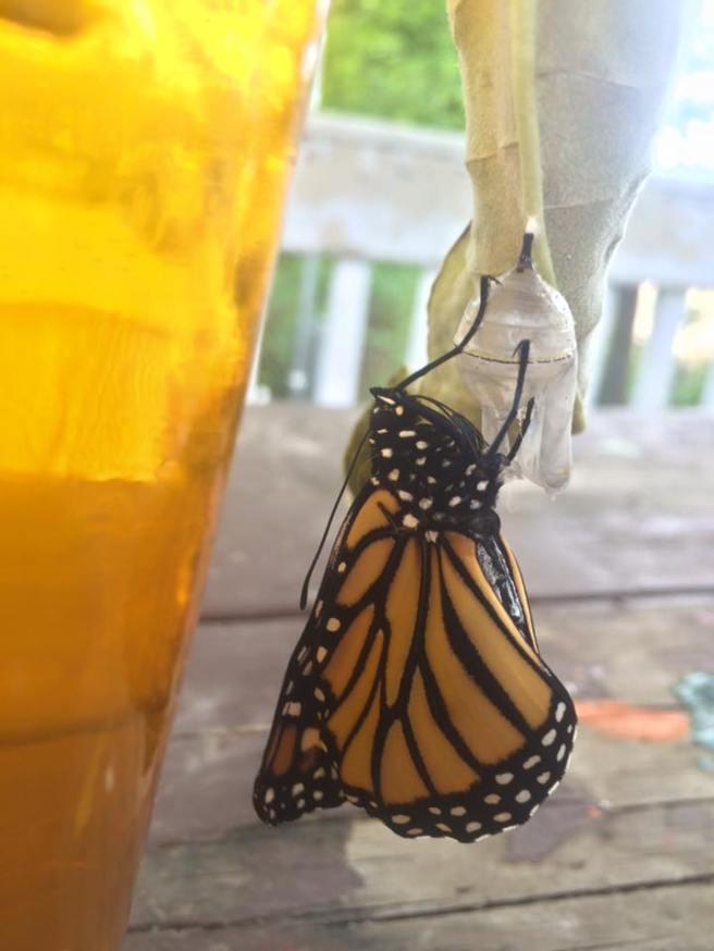 monarch-16