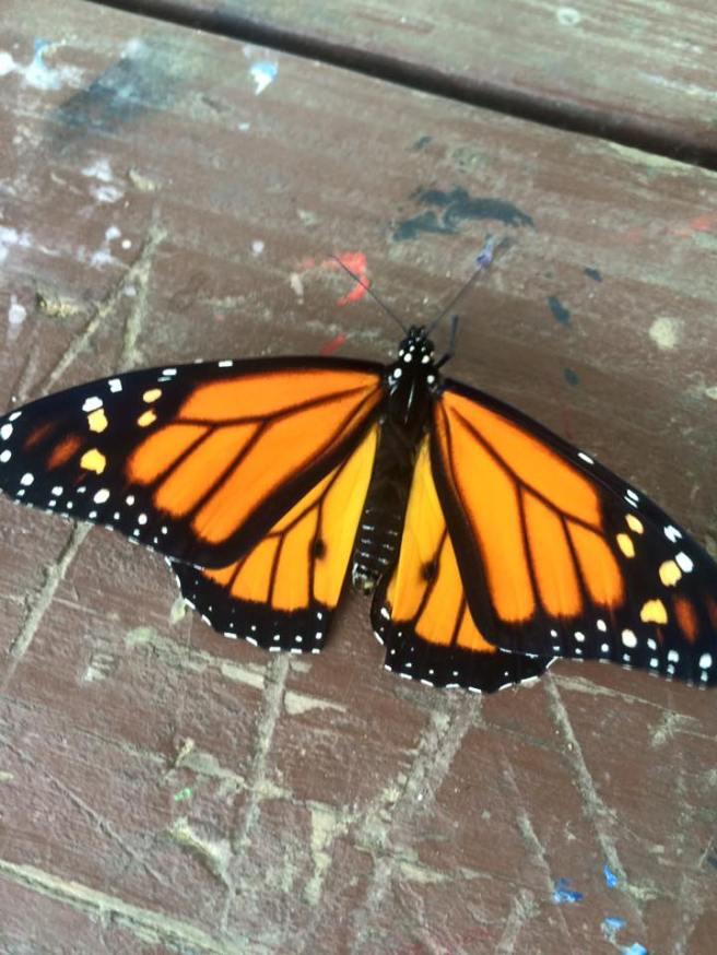 monarch-17