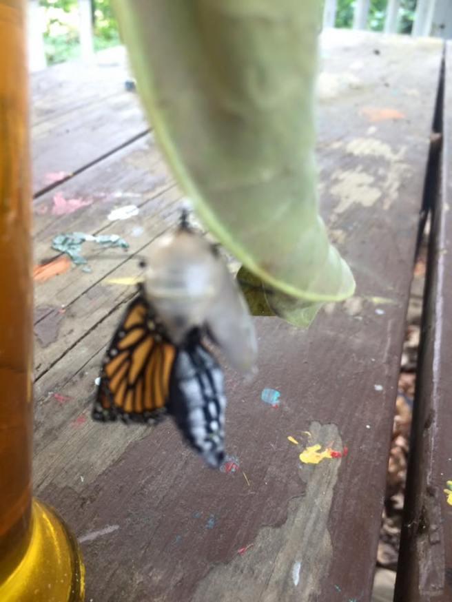 monarch-18
